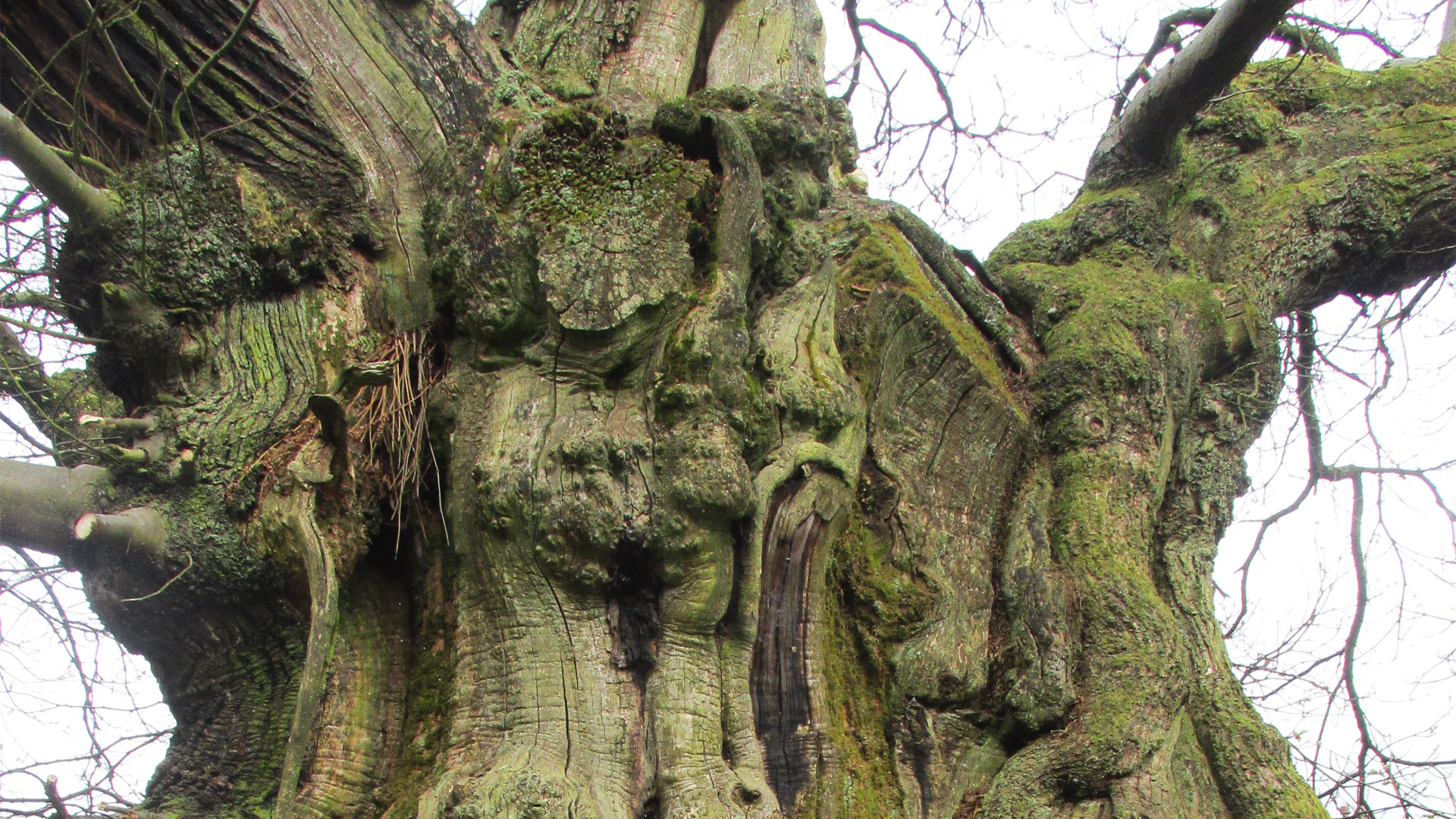 The Dunipace Sweet Chestnut Tree